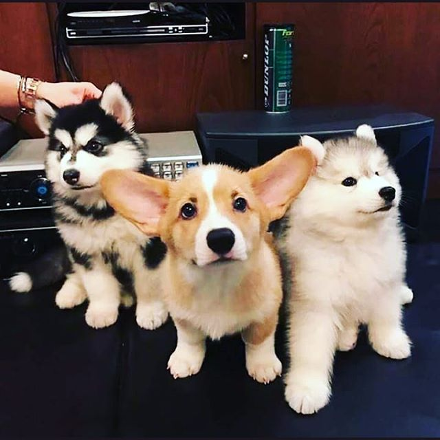 We're playing @clubcafelive this Saturday at 9 ish.  With 2 other bands I don't remember their names right now but I'm sure there fine.  #Rock #corgi #Husky #puppies
