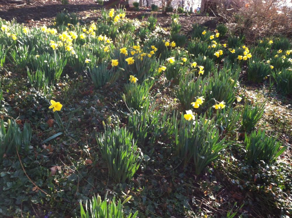 Annie's daffodills nyc.png