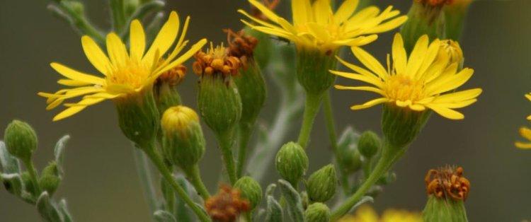 Chrysopsis+floridana.jpg