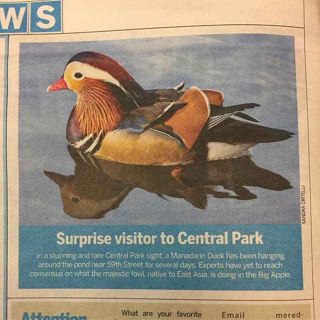 There's been a rare citing of a Mandarin Duck in Central Park for the past few days. Here, our friend @alexcritelli67 and great photographer managed to capture this rare occurrence. The image was soon picked up by @amnewyork. See the colorful photo along with many of her other amazing pictures here: @alexcritelli67 • • • #centralpark #mandarinduck #nyc #strange #photographer #amazing #awesome #beautiful #color #birds #birdwatching #streetphotography #manhattan