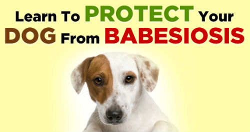 Babesiosis in a Puppy