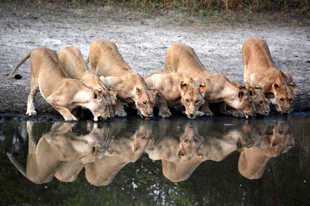lion drinking 7 a.jpg