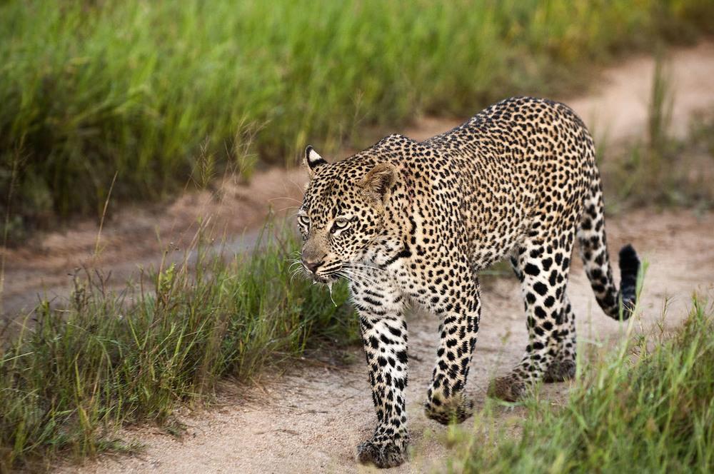 safarileopard-050538.jpg