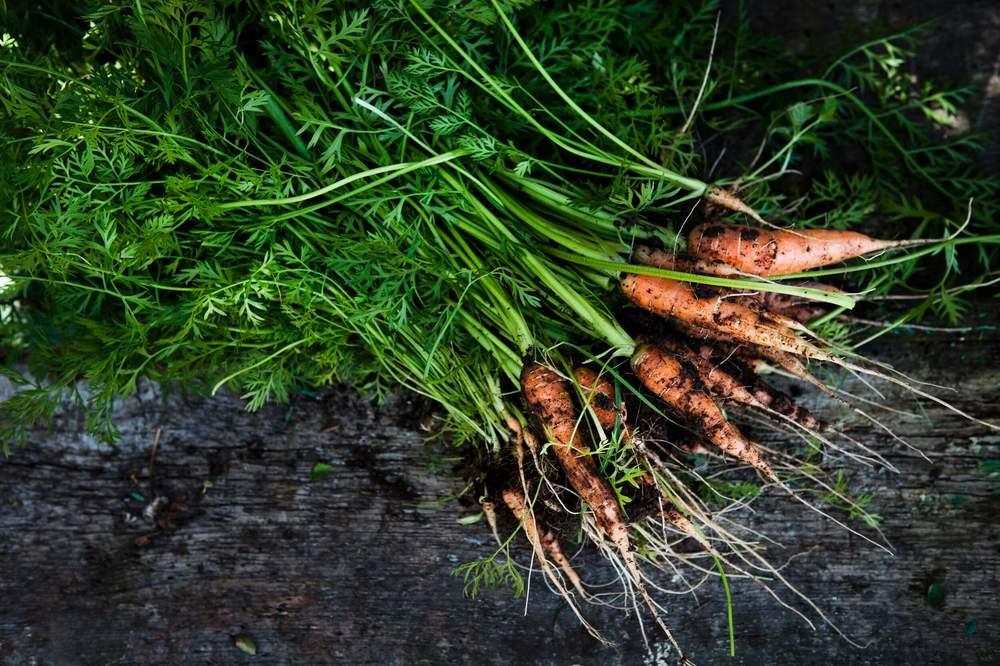 CHH carrots.jpg