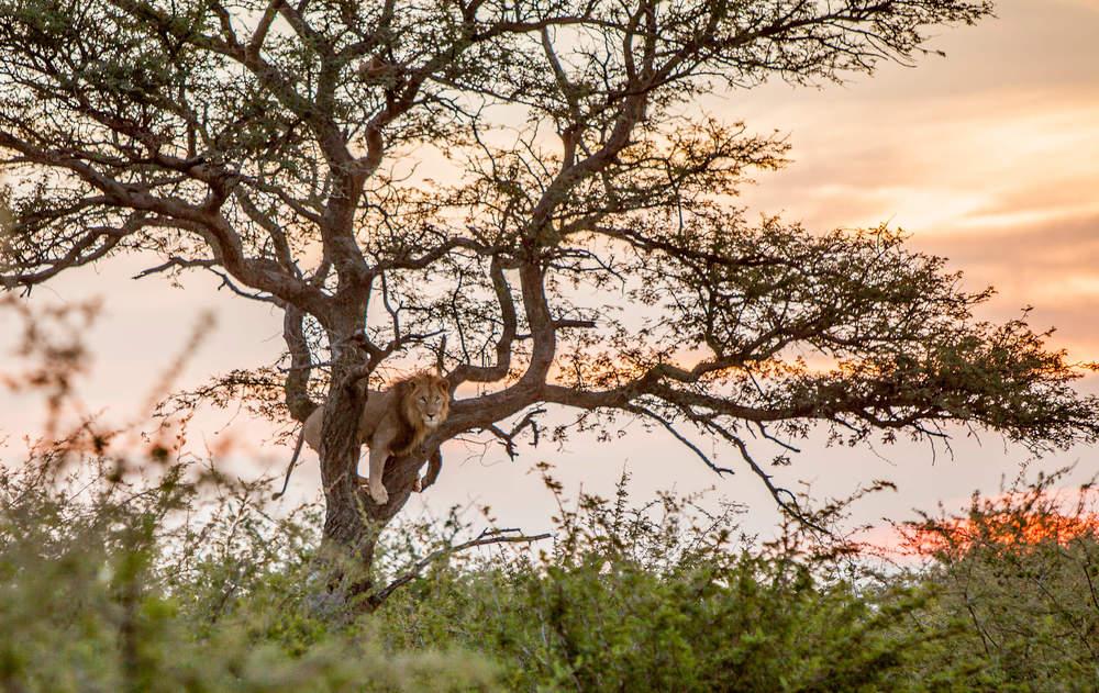 Morukuru Family Madikwe - Tree climbing lion - image Rosita Stumpel.jpg
