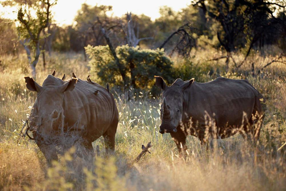 Morukuru Family Madikwe - White Rhino.JPG