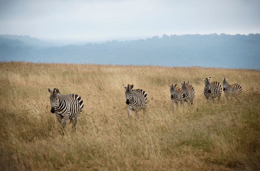 Highlands-Camp-zebra-sighting-Eliza-Deacon-HR.jpg