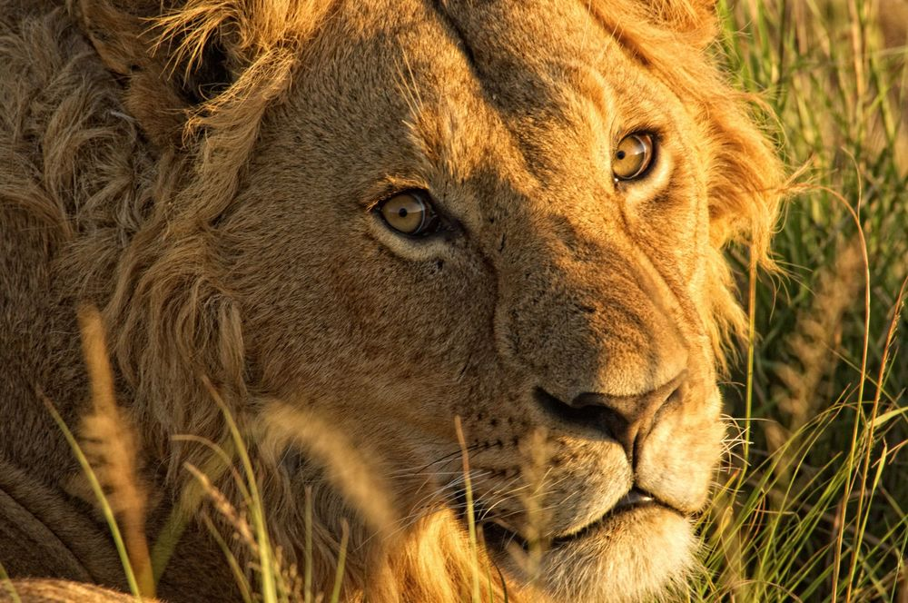 The-Highlands-lion-portrait.jpg