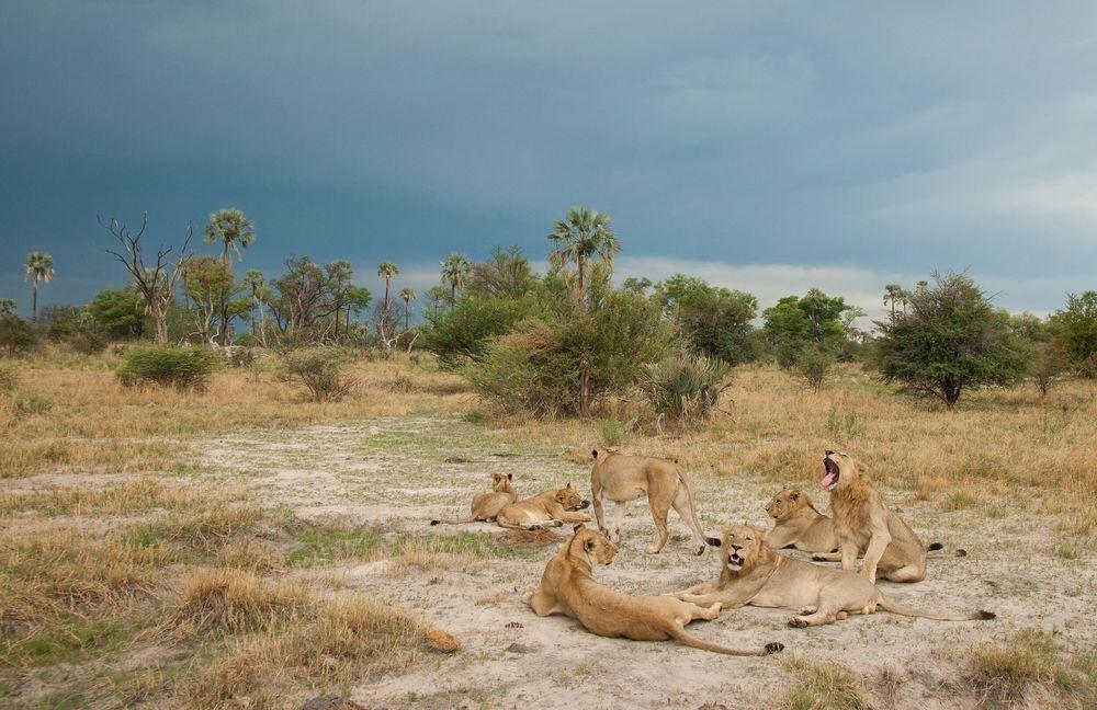 Chitabe_-_Lions_2.jpg