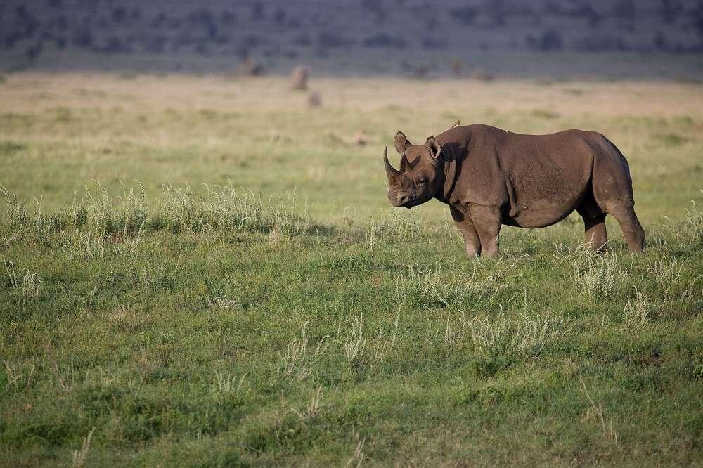 RhinoLarge2.jpg