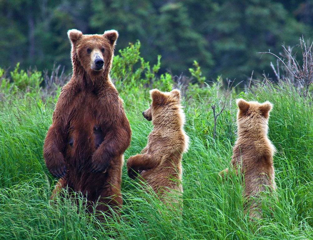 bears_resize.jpg