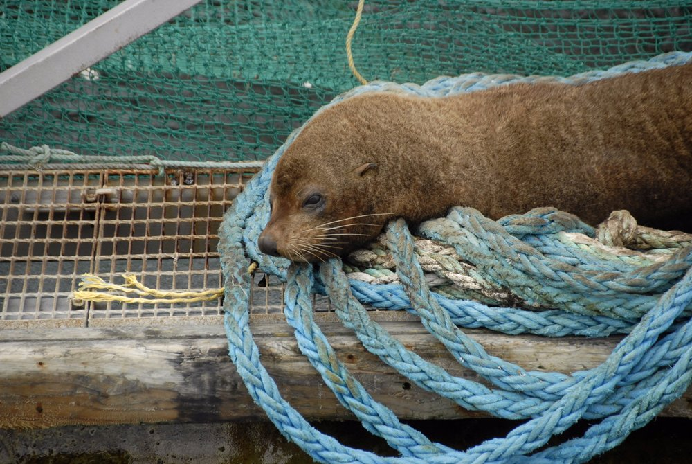 seal on ropes.jpg