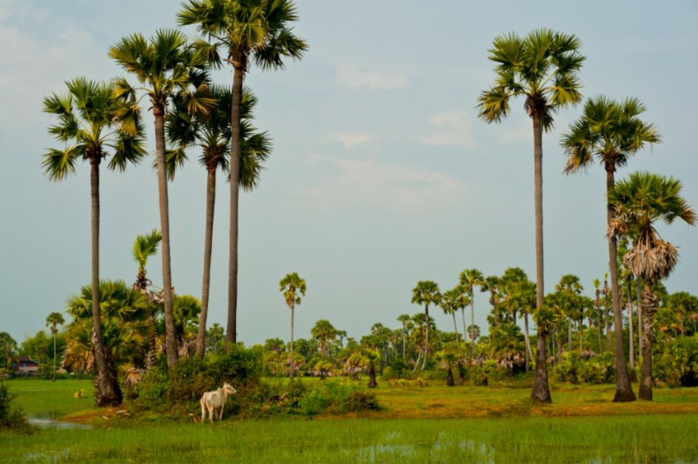 Capture_Cambodia Rice Fields.jpg