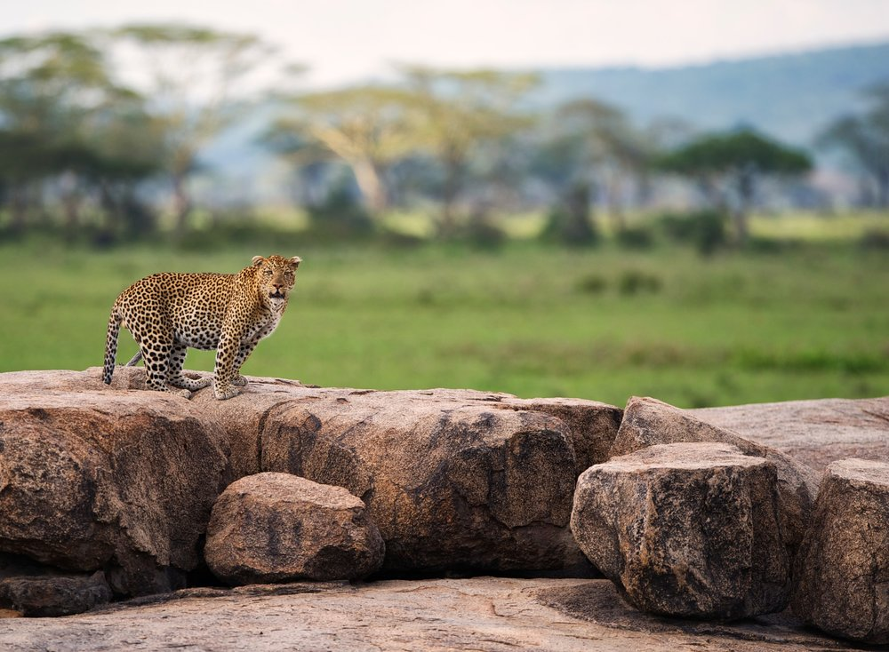 Leopard-Moru-kopjes-serengeti-safari.jpg