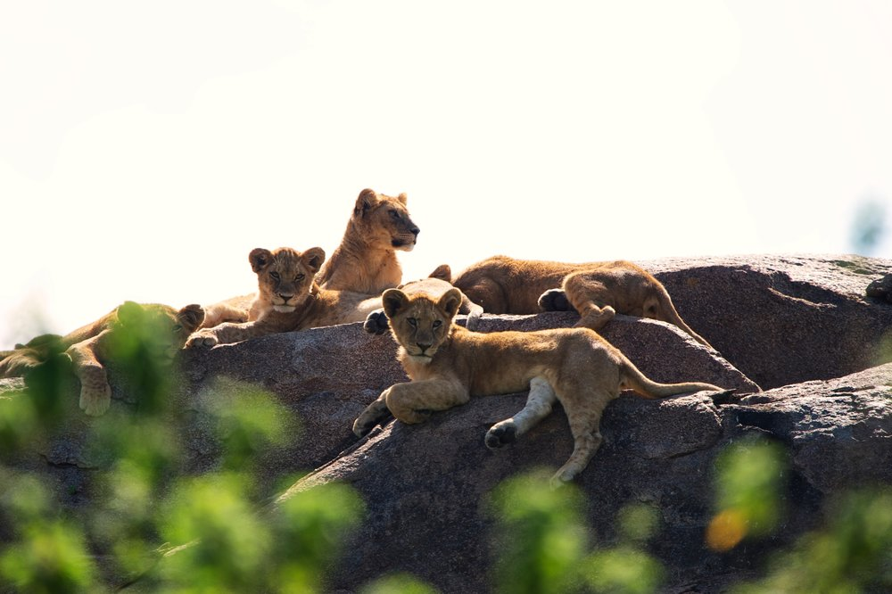 lion-cubs-Serengeti-Safari.jpg