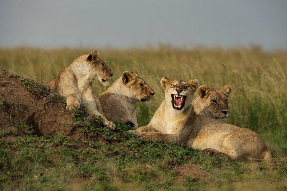 Lioness-pride-Serengeti-Safari.jpg