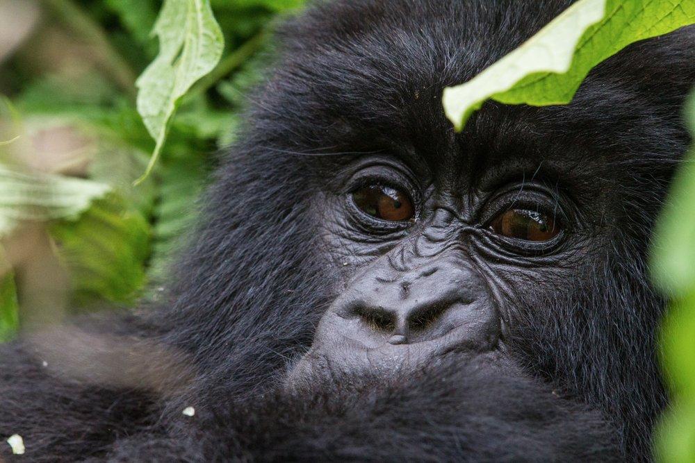 C.Culbert_Rwanda_MtnGorilla-2.jpg