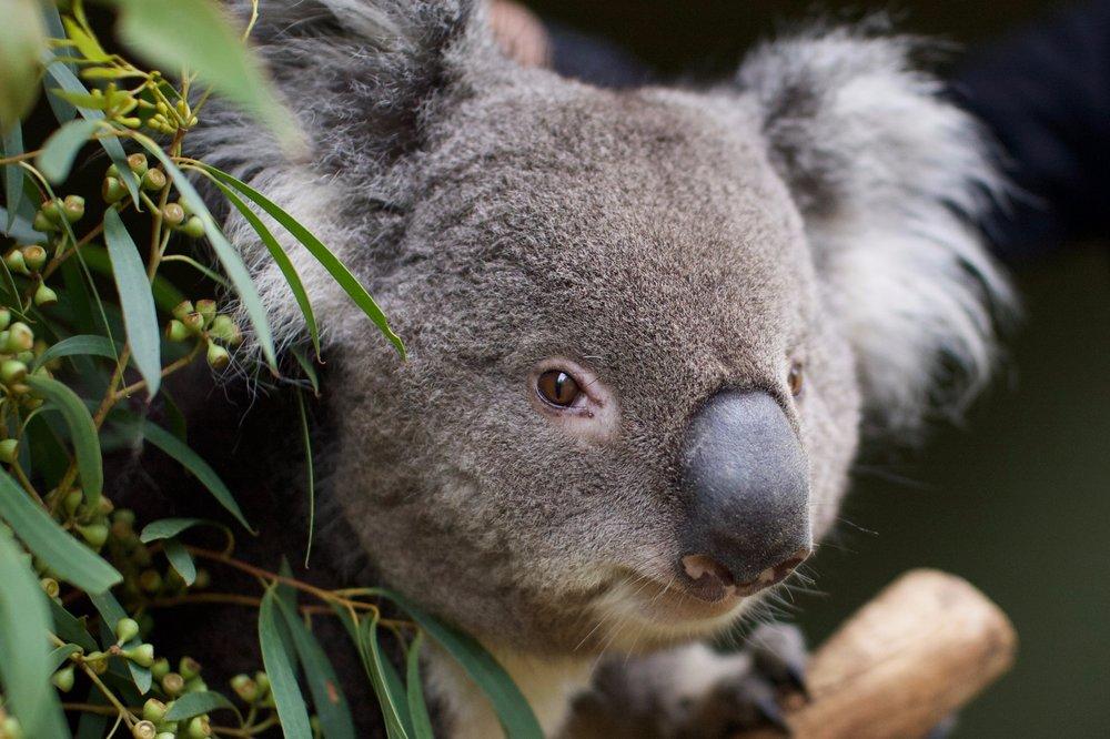 Bonorong-Koala.jpg
