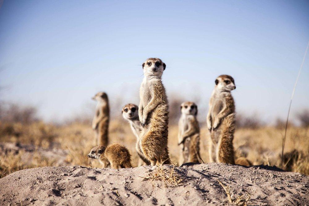Meerkats 1.jpg