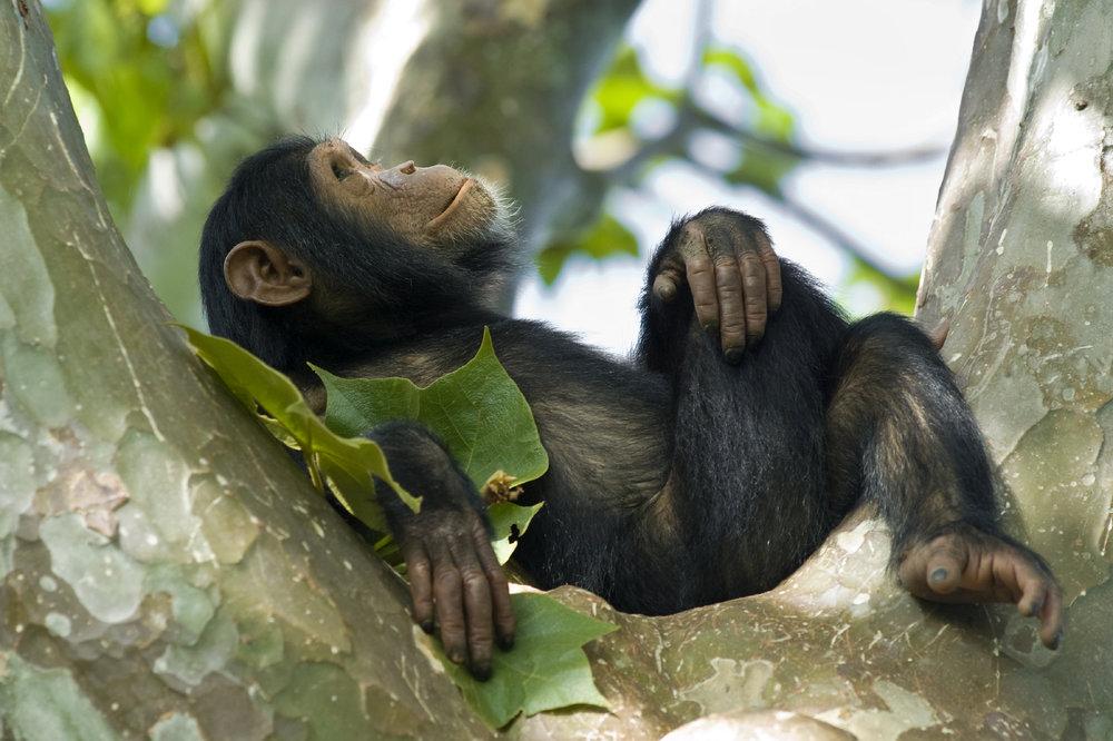 Chimp-Rwanda-safari.jpg