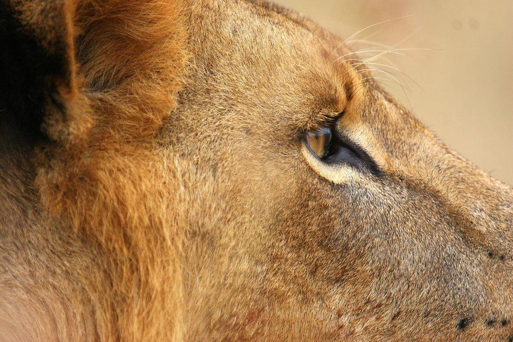 lion side.jpg