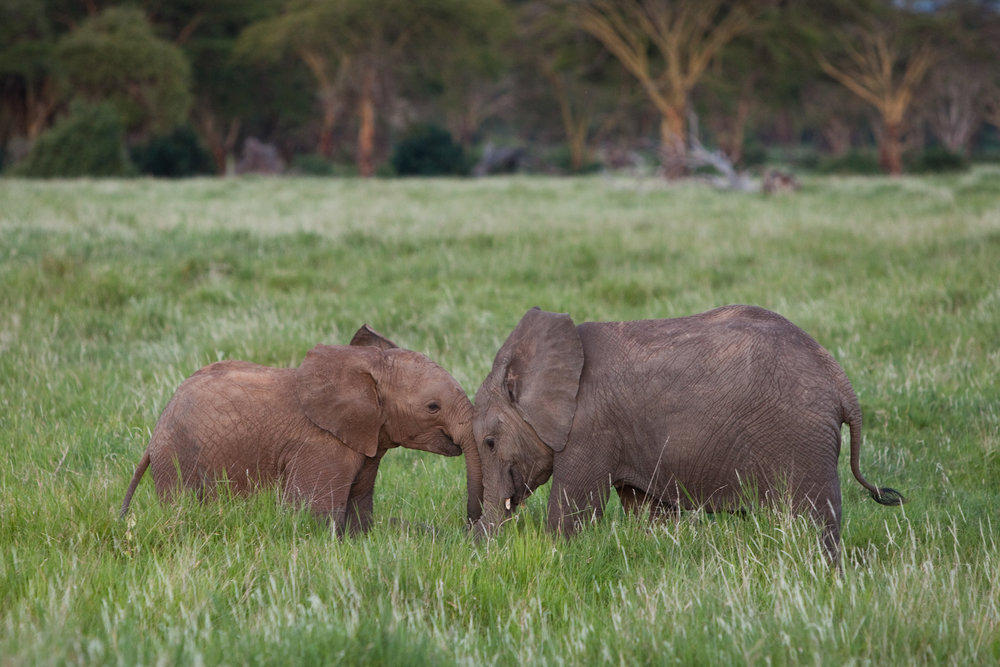 baby elephants duo.jpg