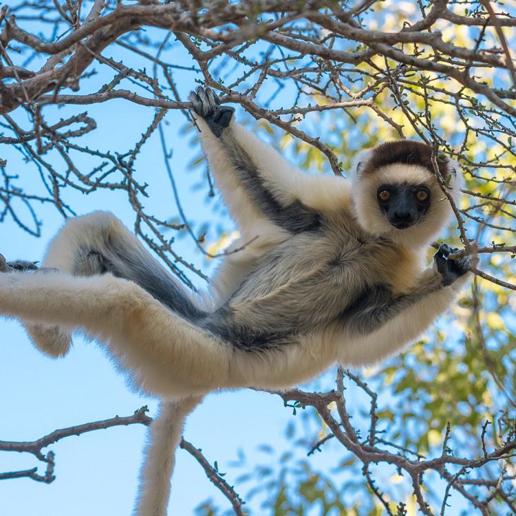A local lemur | Anjajavy Reserve