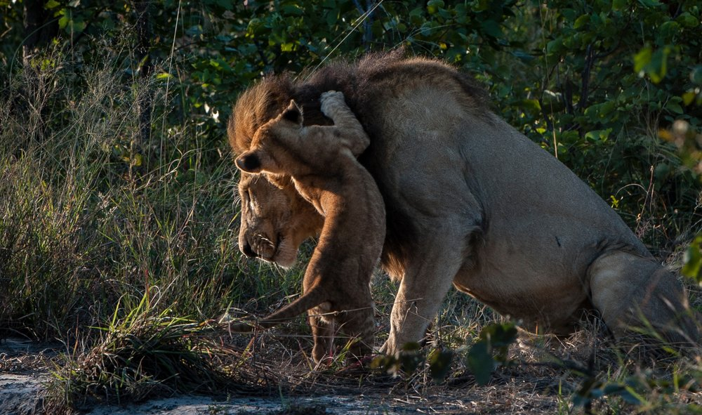 34Sable Alley - Lions .jpg