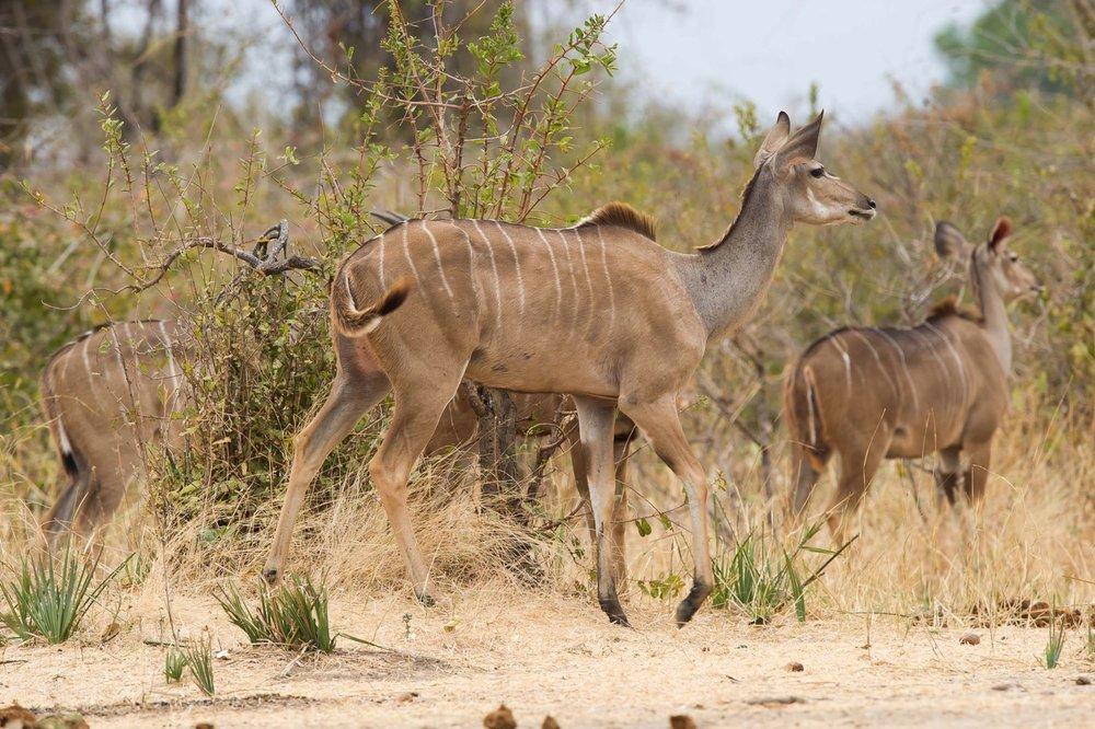 Jabali-Ridge-kudu-Ruaha.jpg