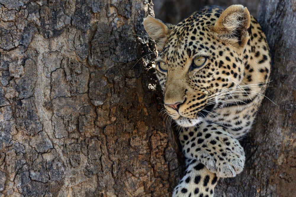 Jabali-Ridge-Leopard.jpg
