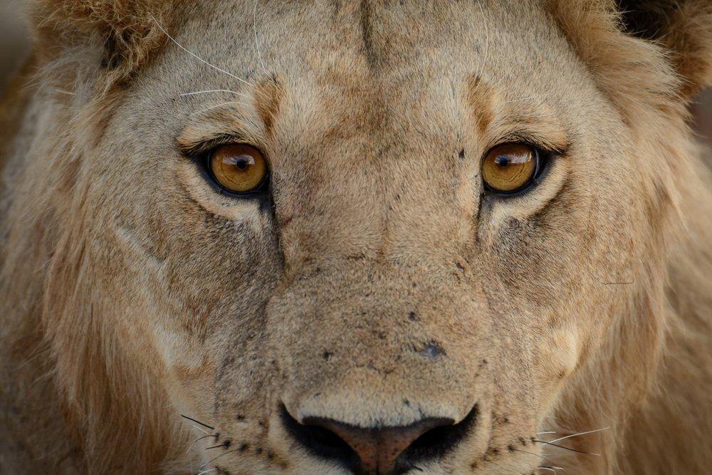 Jabali-Ridge-portrait-of-lion.jpg