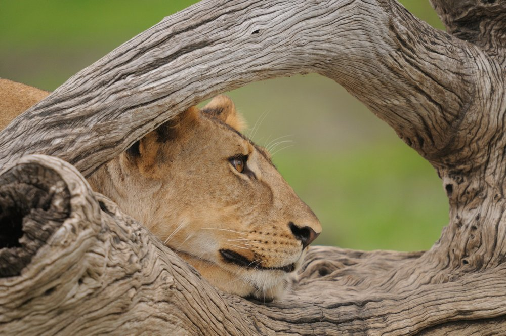 PL-Selous-lion-through-tree.jpg