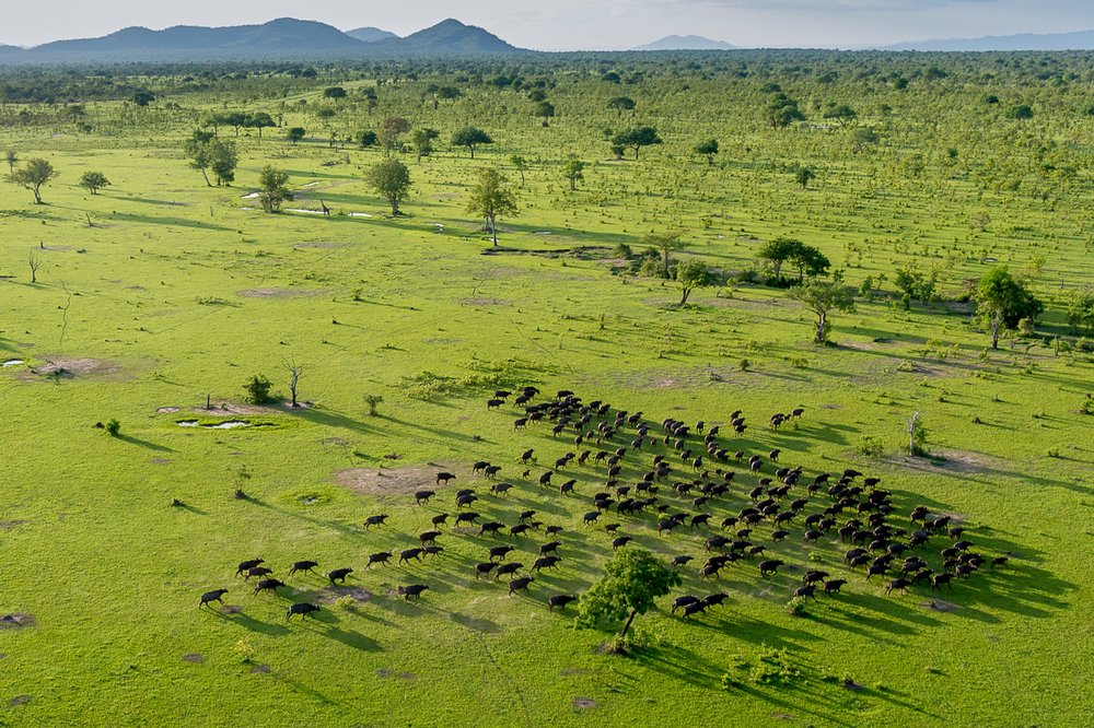 Selous-buffalo-from-the-air-RR.jpg