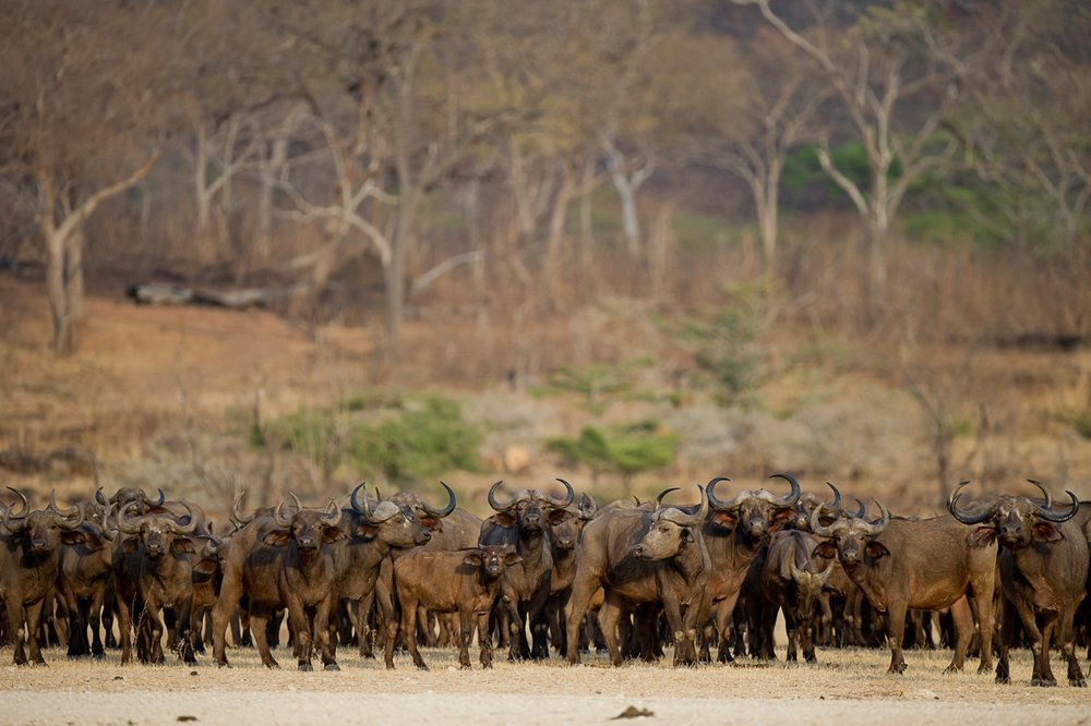 Selous-herd-of-buffalo-RR.jpg