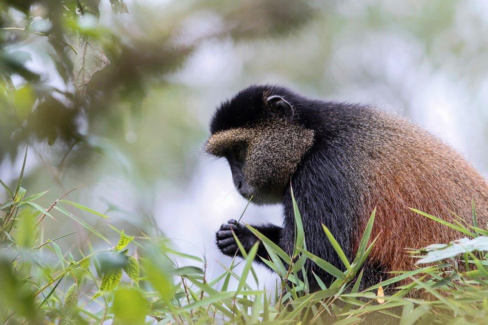 C.Culbert_Rwanda_GoldenMonkey-2.jpg
