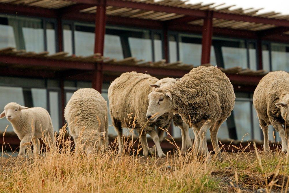 TSP Sheep.jpg