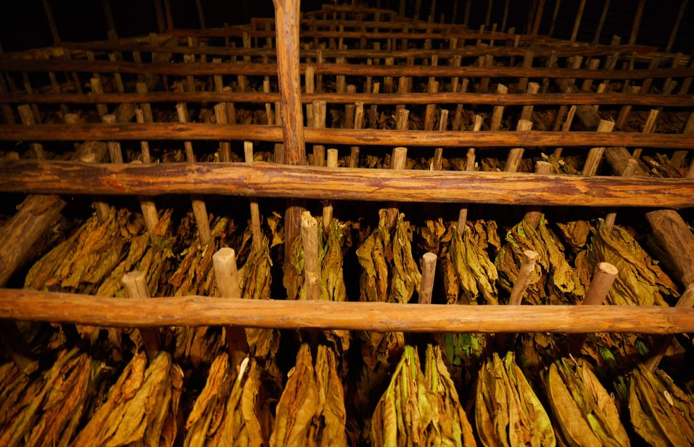 CUBA_CANDELA_TOBACCO_LEAVES_DRYING.jpg
