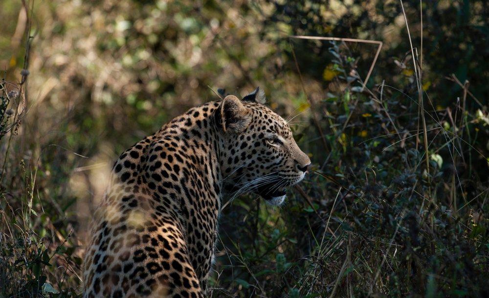 33Mapula Lodge - Leopard.jpg