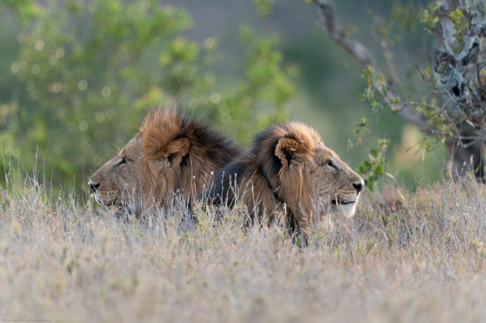 two_lions.jpg