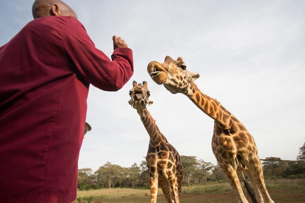 Hungry giraffes.jpg