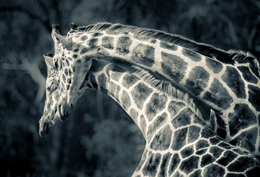 Giraffes Entwined.jpg