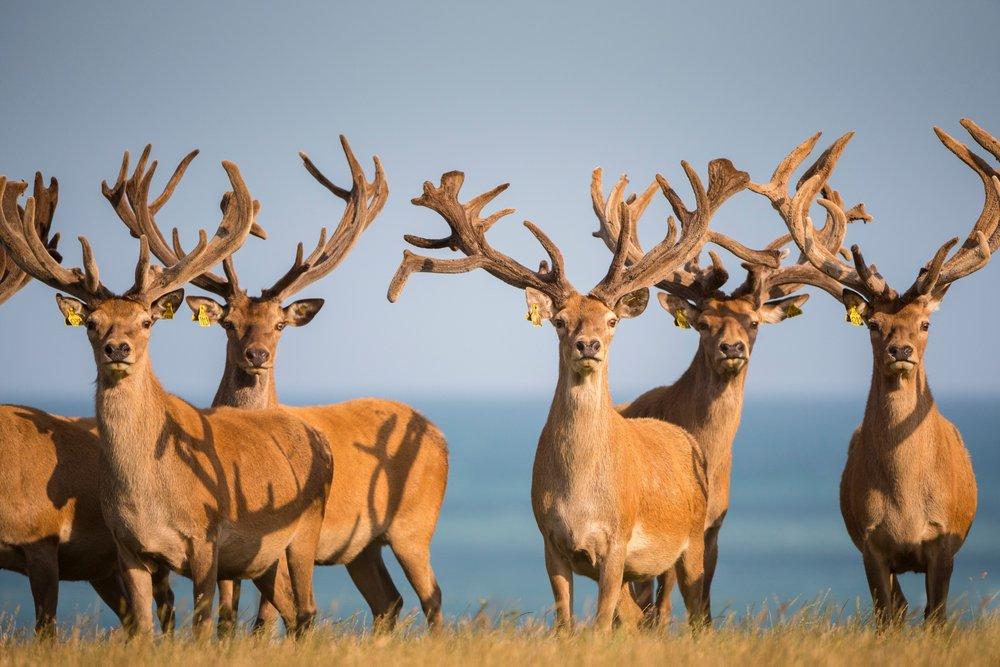 Farm-Deers2.jpg