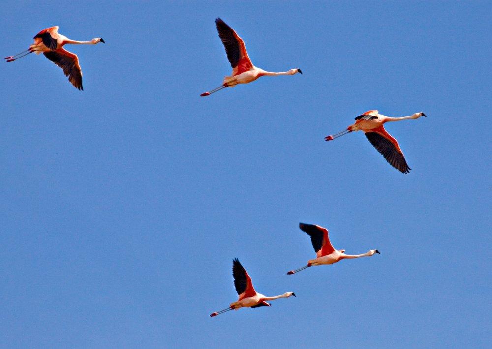 close up of flamingos.jpg