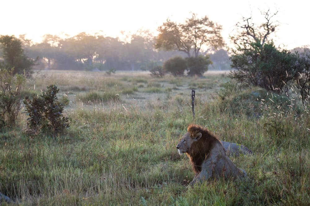 23The Jackal and Hide - Lion at sunrise.jpg