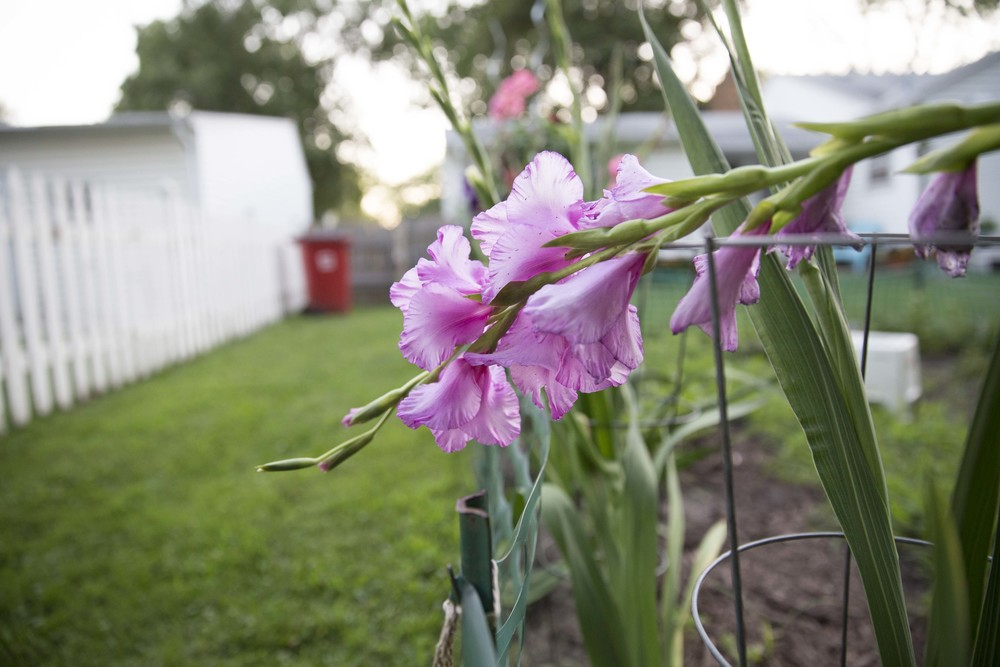gladiolus on the run