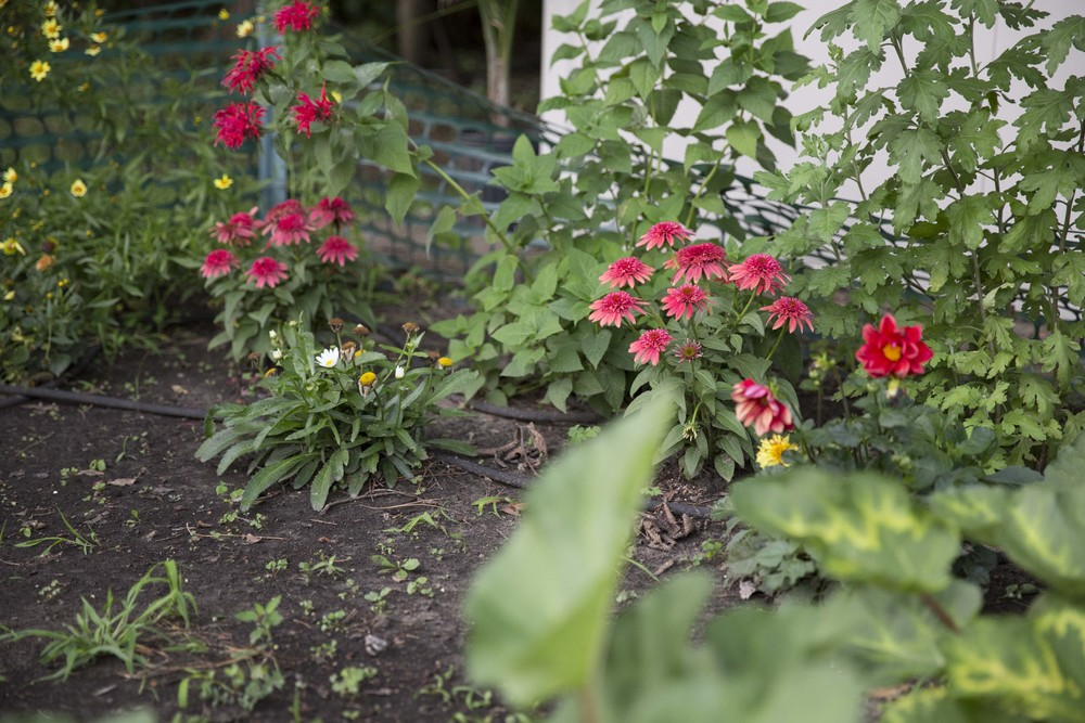 from left to right, yellow coreopsis, red beebalm, double scoop cranberry echinacea, daisies, more double scoop cranberry echinacea,dahlias, spider mum without blooms