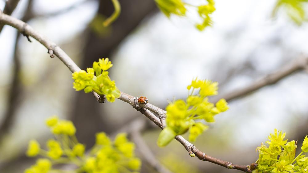 Ladybug on a spring juneberry tree