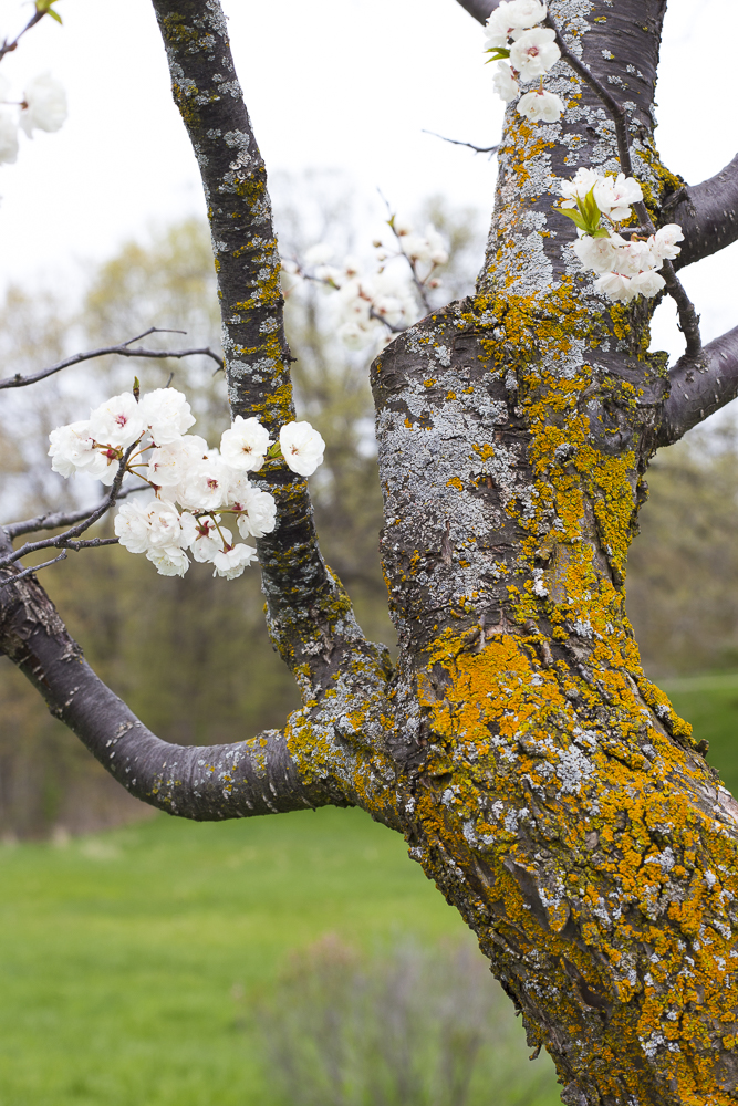 Blossoms and moss on a Canadian Plum tree