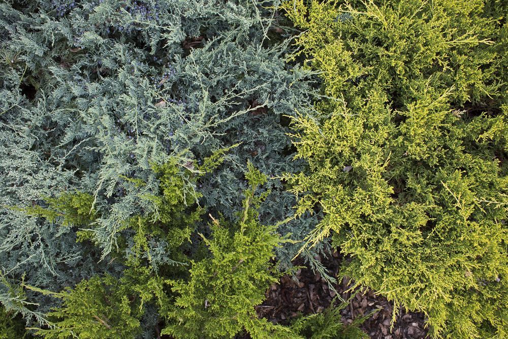 Three shades of evergreen bushes