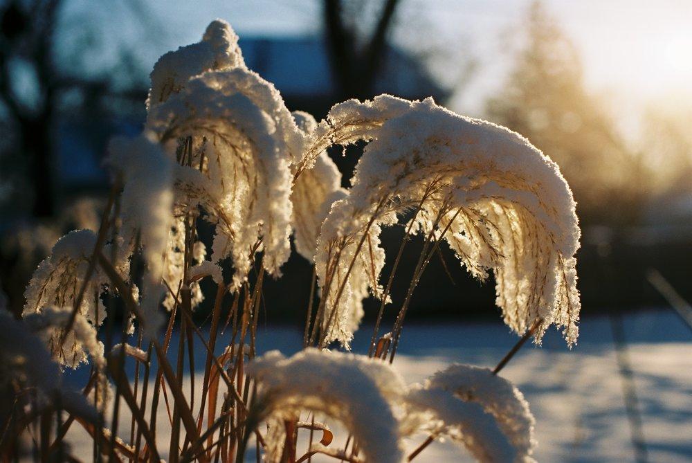 Grasses in the snow - Canon AE-1p on Ektar 100